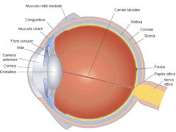 36d6d397ac Il sistema idraulico oculare è una struttura complessa tale da consentire  un percorso all'umore acqueo, ovvero il sangue trasparente che viene  prodotto dai ...